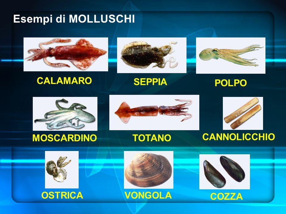 Esempi di MOLLUSCHI CALAMARO MOSCARDINO COZZA OSTRICA CANNOLICCHIO VONGOLA POLPO SEPPIA TOTANO