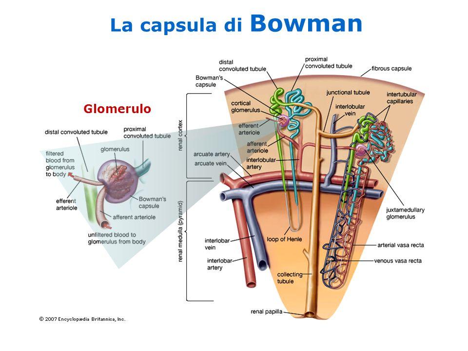 La capsula di Bowman Glomerulo