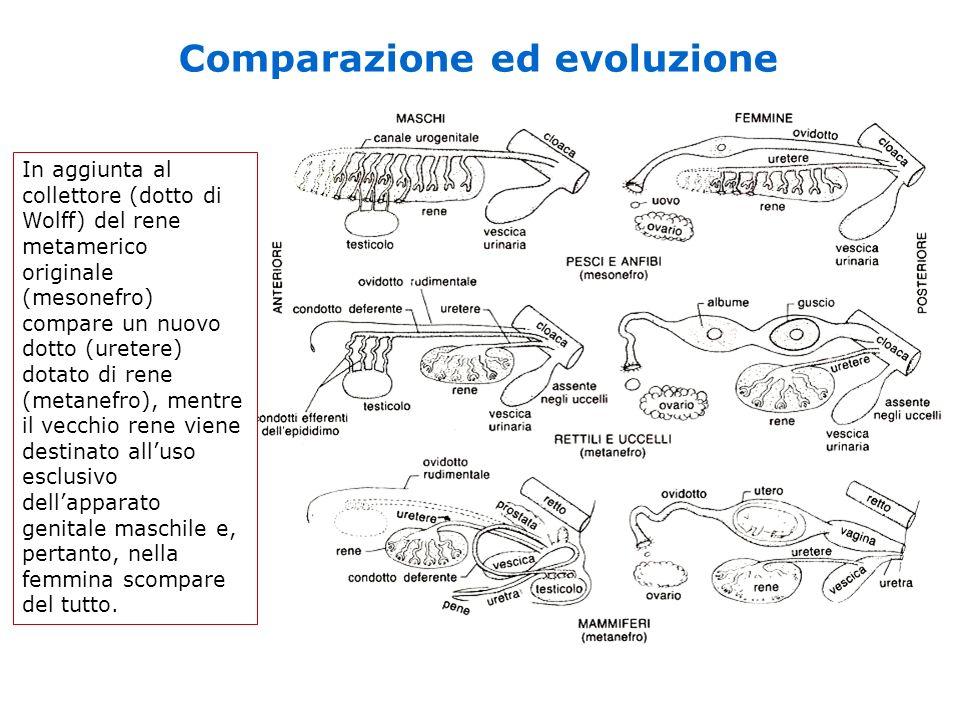 Comparazione ed evoluzione In aggiunta al collettore (dotto di Wolff) del rene metamerico originale (mesonefro) compare un nuovo dotto (uretere) dotat