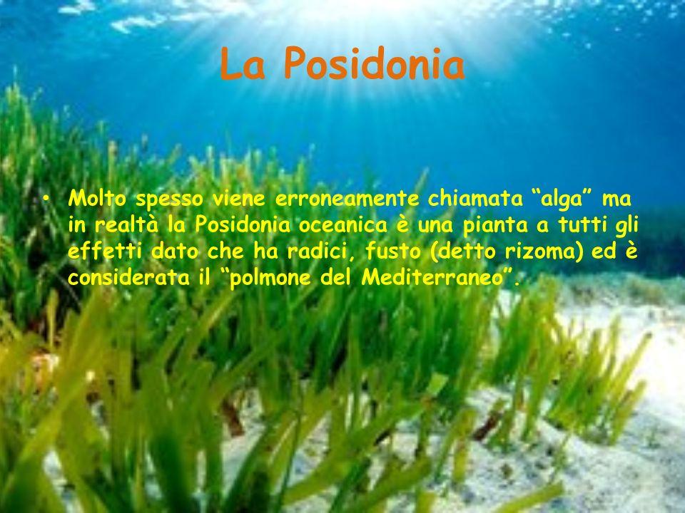 L intreccio dei rizomi e delle lunghe foglie costituiscono un luogo di riparo e approvvigionamento per pesci e invertebrati marini, I rizomi assieme alle radici riescono a trattenere il sedimento Dal 1990 la Posidonia è stata dichiarata specie protetta.