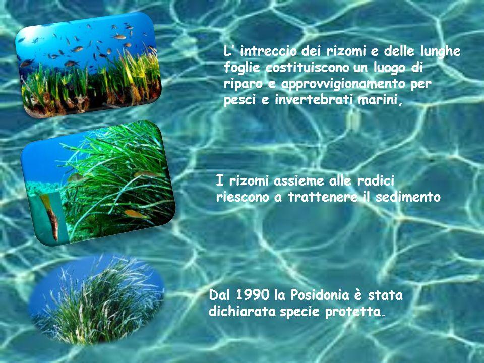 La Caulerpa taxifolia è un alga tropicale infestante del Mar Mediterraneo e in grado di danneggiare la vegetazione marina locale.