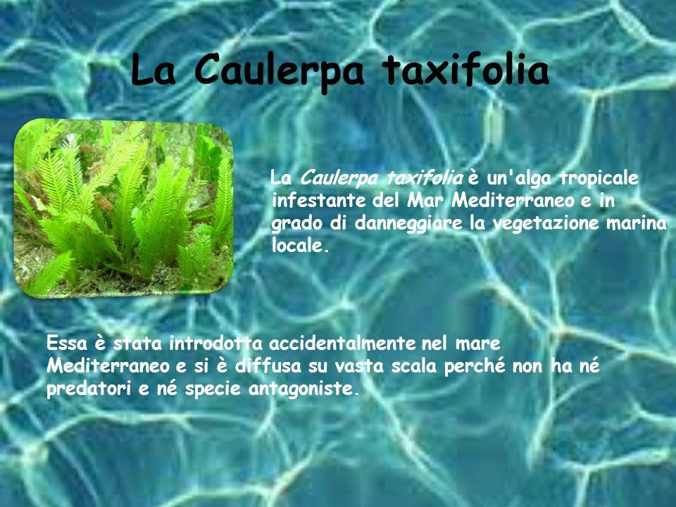 La Caretta caretta La tartaruga Caretta caretta è una delle tre specie di tartarughe ancora presenti nel Mediterraneo.