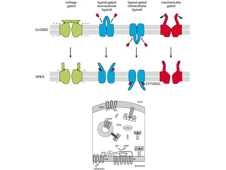 C non è un parametro sufficiente per determinare J in un sistema biologico perché: 1.Alcuni soluti sono ioni (quindi dotati di una carica) 2.Esiste una differenza di potenziale (Vm) tra i due capi della membrana plasmatica che influenza il movimento di soluti carichi.