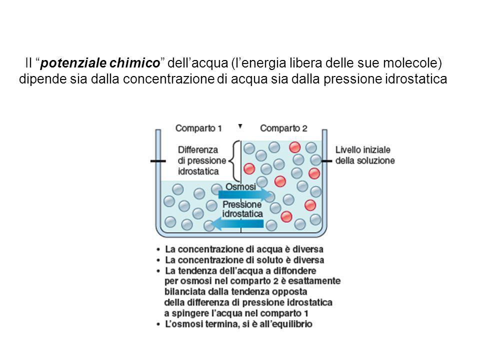 Il flusso di acqua attraverso una membrana dipenderà 1.Dalla differenza di pressione osmotica 2.Dalla differenza di pressione idrostatica Trasporti dei soluti e dellacqua tra il LEC e il LIC: losmosi