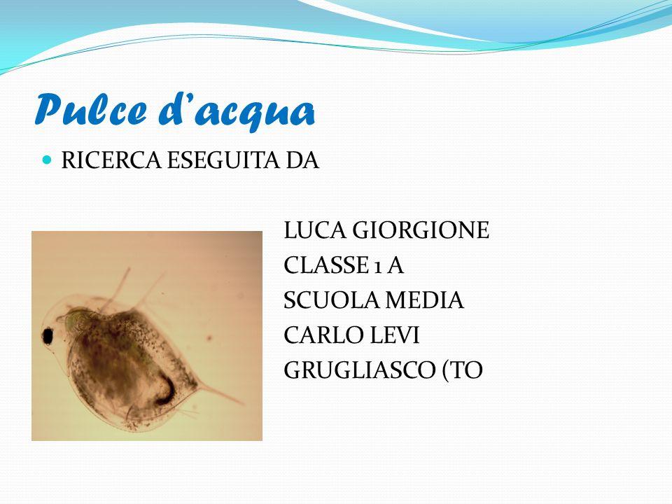 Pulce dacqua RICERCA ESEGUITA DA LUCA GIORGIONE CLASSE 1 A SCUOLA MEDIA CARLO LEVI GRUGLIASCO (TO