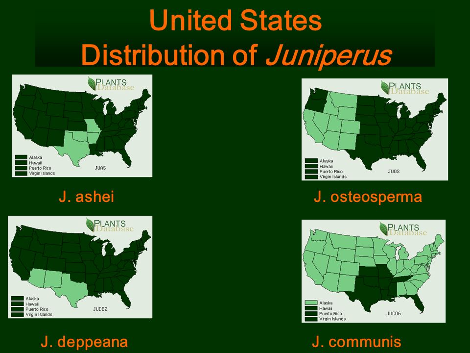 United States Distribution of Juniperus J. osteosperma J. deppeanaJ. communis J. ashei