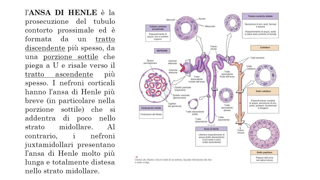 ANSA DI HENLE l ANSA DI HENLE è la prosecuzione del tubulo contorto prossimale ed è formata da un tratto discendente più spesso, da una porzione sottile che piega a U e risale verso il tratto ascendente più spesso.