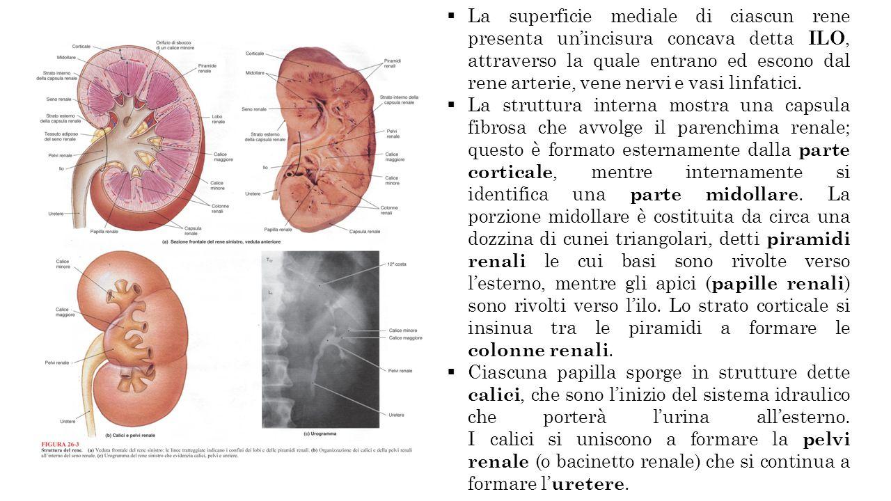 La superficie mediale di ciascun rene presenta unincisura concava detta ILO, attraverso la quale entrano ed escono dal rene arterie, vene nervi e vasi linfatici.