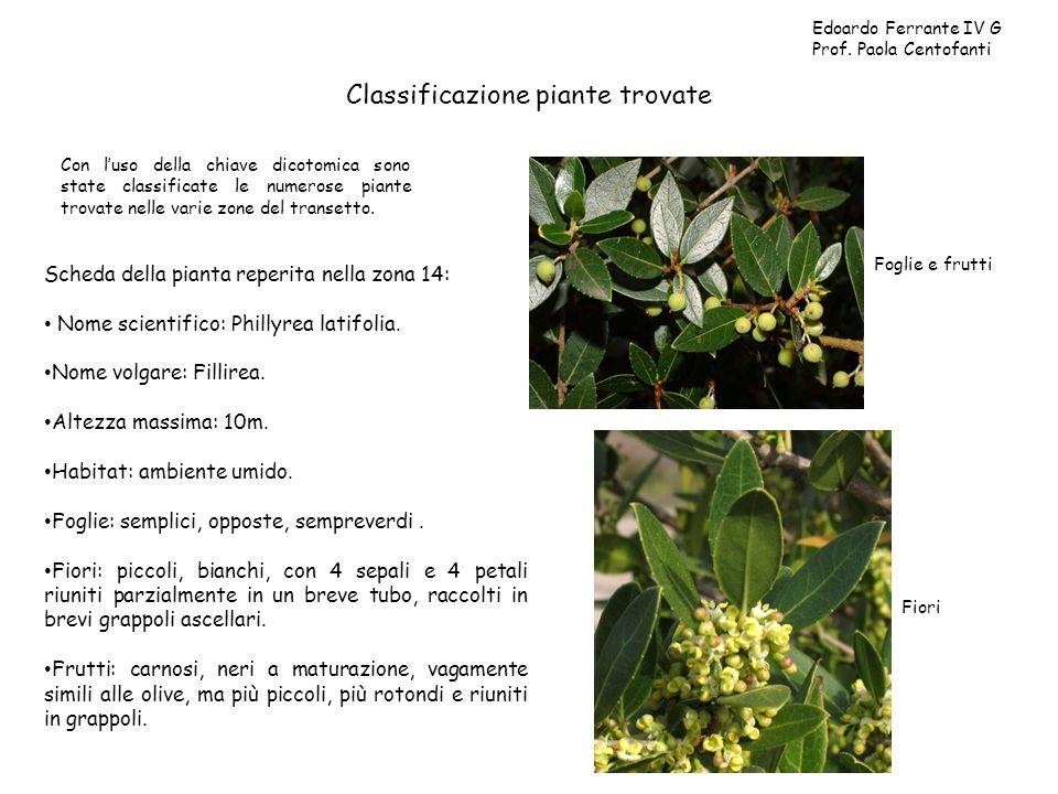 Classificazione piante trovate Con luso della chiave dicotomica sono state classificate le numerose piante trovate nelle varie zone del transetto. Edo