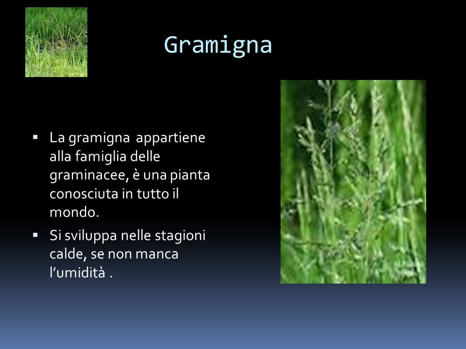 Gramigna La gramigna appartiene alla famiglia delle graminacee, è una pianta conosciuta in tutto il mondo. Si sviluppa nelle stagioni calde, se non ma