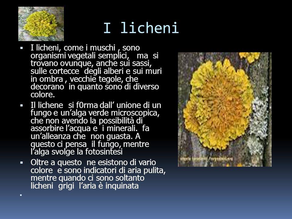 I licheni I licheni, come i muschi, sono organismi vegetali semplici, ma si trovano ovunque, anche sui sassi, sulle cortecce degli alberi e sui muri in ombra, vecchie tegole, che decorano in quanto sono di diverso colore.