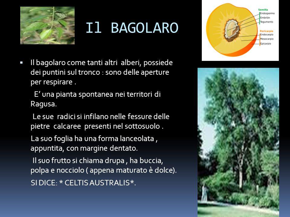 Il BAGOLARO Il bagolaro come tanti altri alberi, possiede dei puntini sul tronco : sono delle aperture per respirare. E una pianta spontanea nei terri