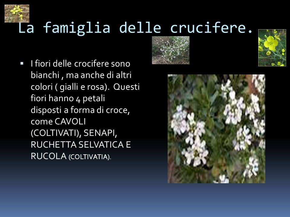 La famiglia delle crucifere. I fiori delle crocifere sono bianchi, ma anche di altri colori ( gialli e rosa). Questi fiori hanno 4 petali disposti a f