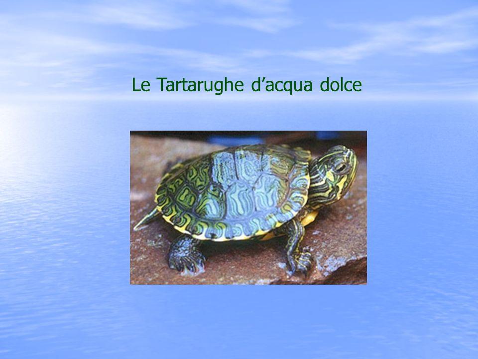 La più comune tra le tartarughe dacqua dolce è la Trachemys scripta elegans.