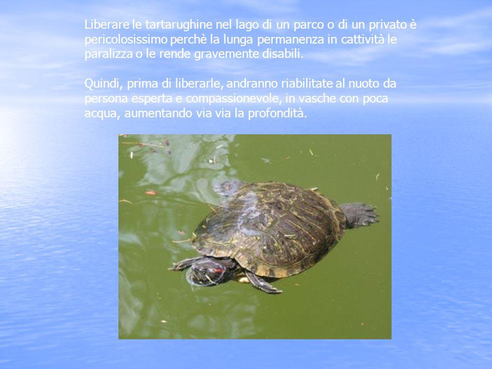 Liberare le tartarughine nel lago di un parco o di un privato è pericolosissimo perchè la lunga permanenza in cattività le paralizza o le rende gravem