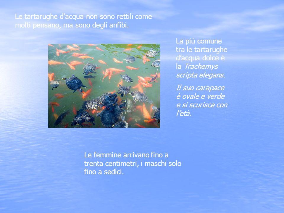 La più comune tra le tartarughe dacqua dolce è la Trachemys scripta elegans. Il suo carapace è ovale e verde e si scurisce con letà. Le femmine arriva
