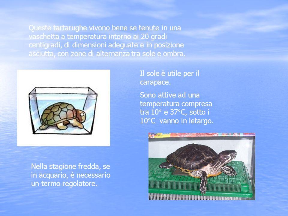 Queste tartarughe vivono bene se tenute in una vaschetta a temperatura intorno ai 20 gradi centigradi, di dimensioni adeguate e in posizione asciutta,