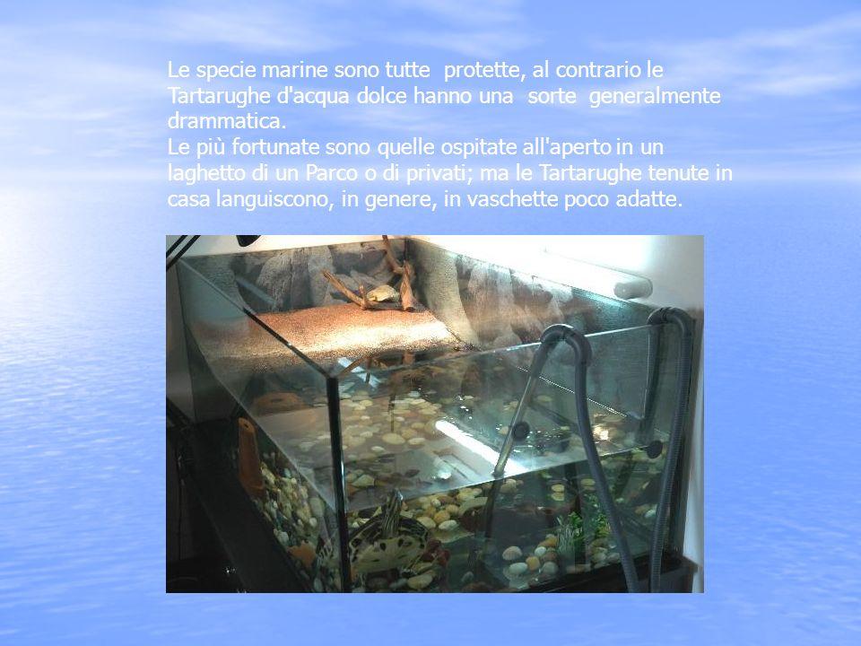 Le specie marine sono tutte protette, al contrario le Tartarughe d'acqua dolce hanno una sorte generalmente drammatica. Le più fortunate sono quelle o