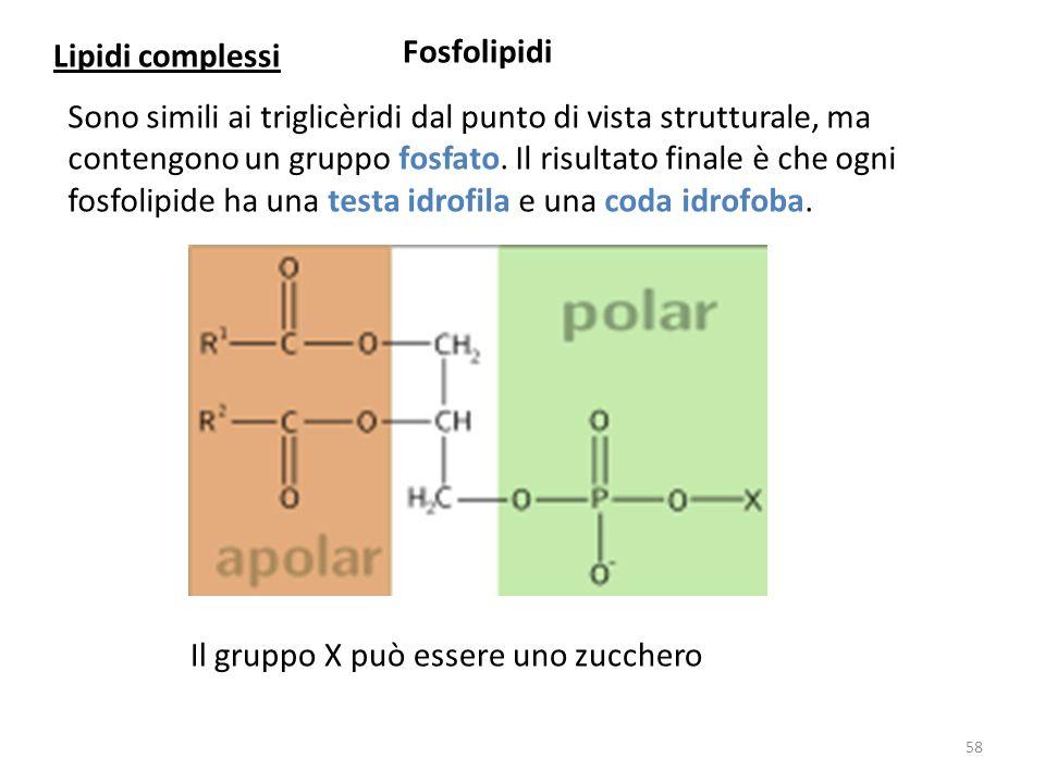 Fosfolipidi Sono simili ai triglicèridi dal punto di vista strutturale, ma contengono un gruppo fosfato. Il risultato finale è che ogni fosfolipide ha