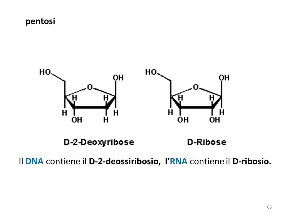 pentosi Il DNA contiene il D-2-deossiribosio, lRNA contiene il D-ribosio. 66