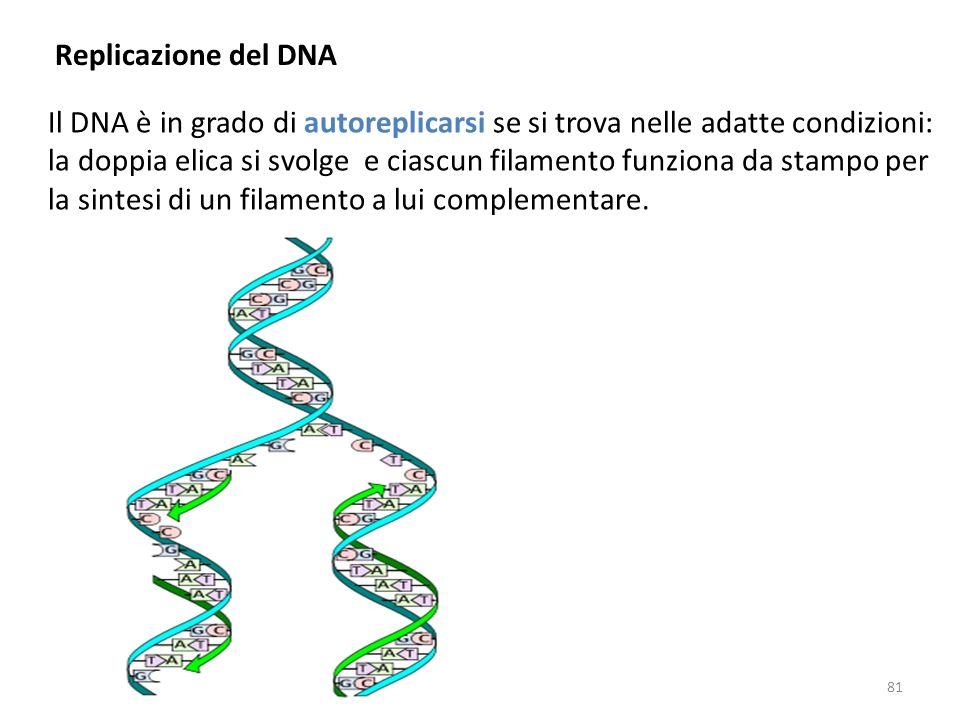 Replicazione del DNA Il DNA è in grado di autoreplicarsi se si trova nelle adatte condizioni: la doppia elica si svolge e ciascun filamento funziona d