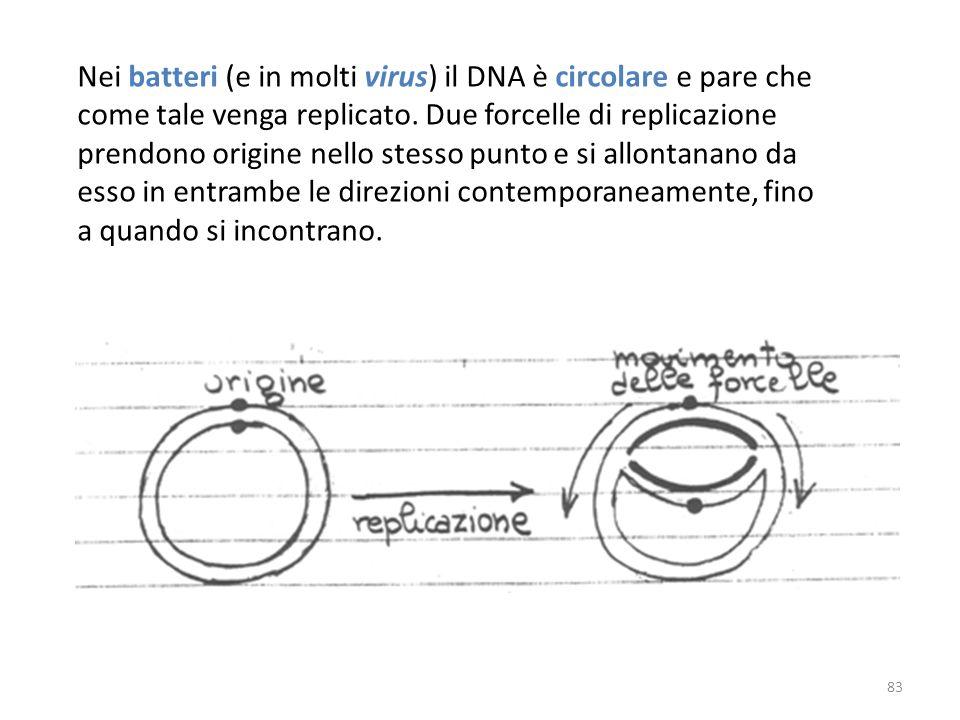 Nei batteri (e in molti virus) il DNA è circolare e pare che come tale venga replicato. Due forcelle di replicazione prendono origine nello stesso pun