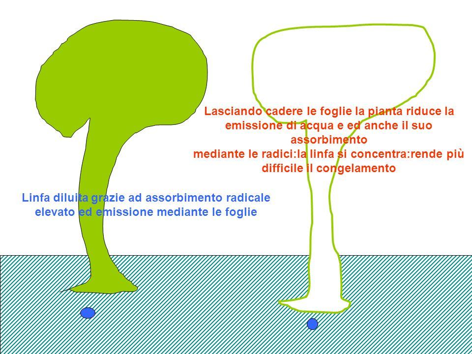 Linfa diluita grazie ad assorbimento radicale elevato ed emissione mediante le foglie Lasciando cadere le foglie la pianta riduce la emissione di acqua e ed anche il suo assorbimento mediante le radici:la linfa si concentra:rende più difficile il congelamento