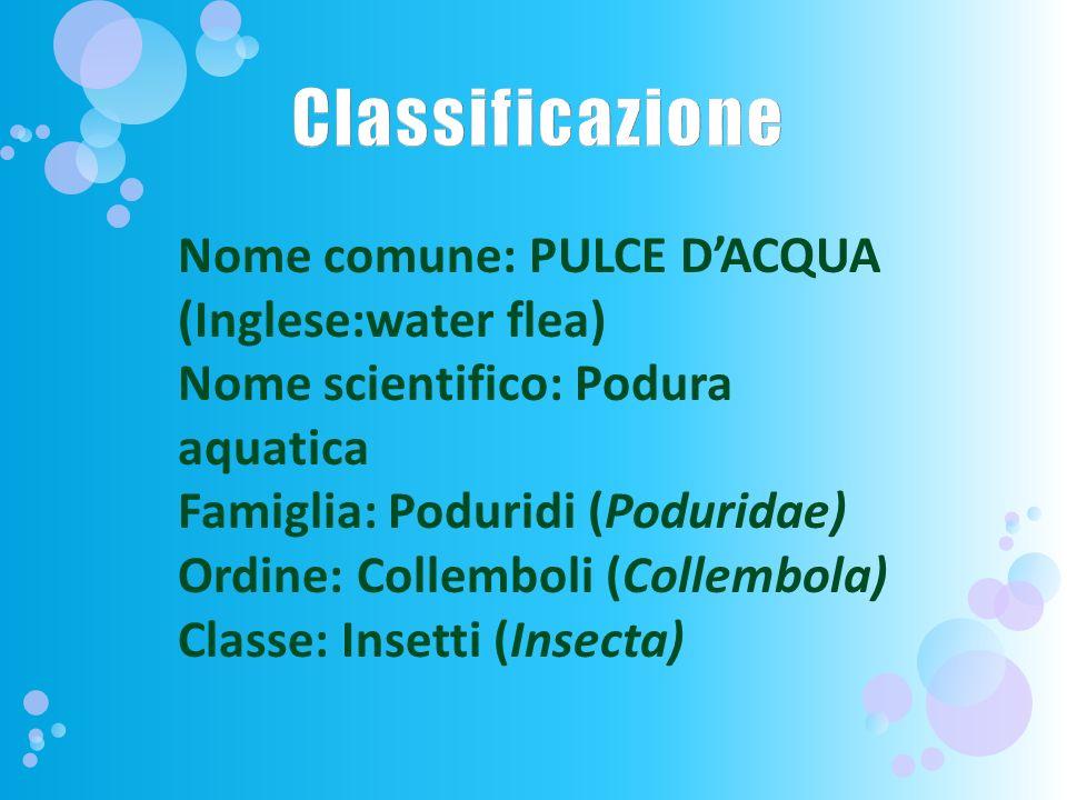Nome comune: PULCE DACQUA (Inglese:water flea) Nome scientifico: Podura aquatica Famiglia: Poduridi (Poduridae) Ordine: Collemboli (Collembola) Classe