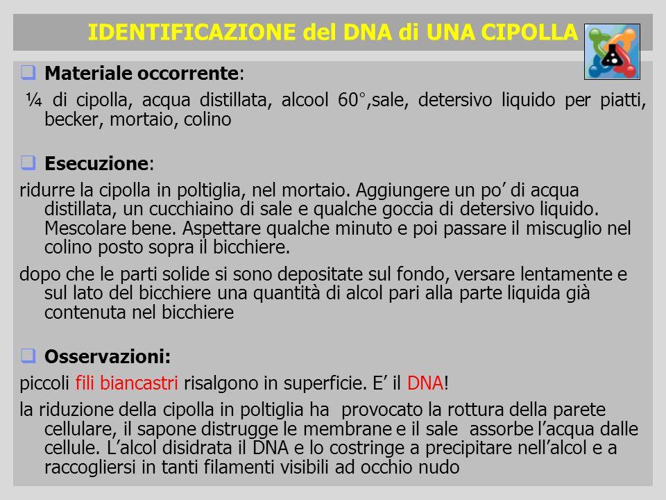 IDENTIFICAZIONE del DNA di UNA CIPOLLA Materiale occorrente: ¼ di cipolla, acqua distillata, alcool 60°,sale, detersivo liquido per piatti, becker, mo
