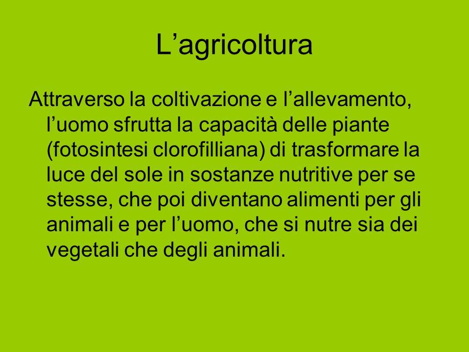 Lagricoltura Attraverso la coltivazione e lallevamento, luomo sfrutta la capacità delle piante (fotosintesi clorofilliana) di trasformare la luce del