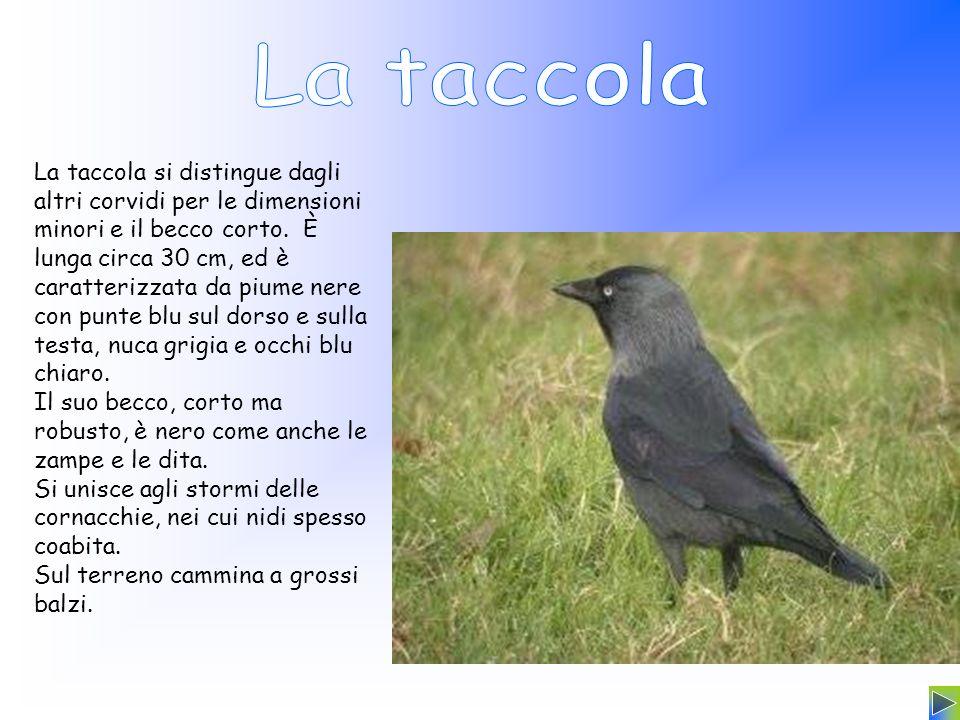 La taccola si distingue dagli altri corvidi per le dimensioni minori e il becco corto. È lunga circa 30 cm, ed è caratterizzata da piume nere con punt