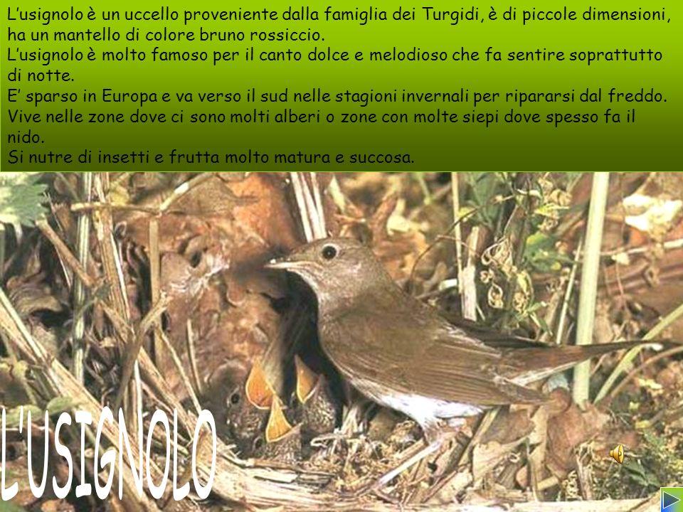 Lusignolo è un uccello proveniente dalla famiglia dei Turgidi, è di piccole dimensioni, ha un mantello di colore bruno rossiccio. Lusignolo è molto fa