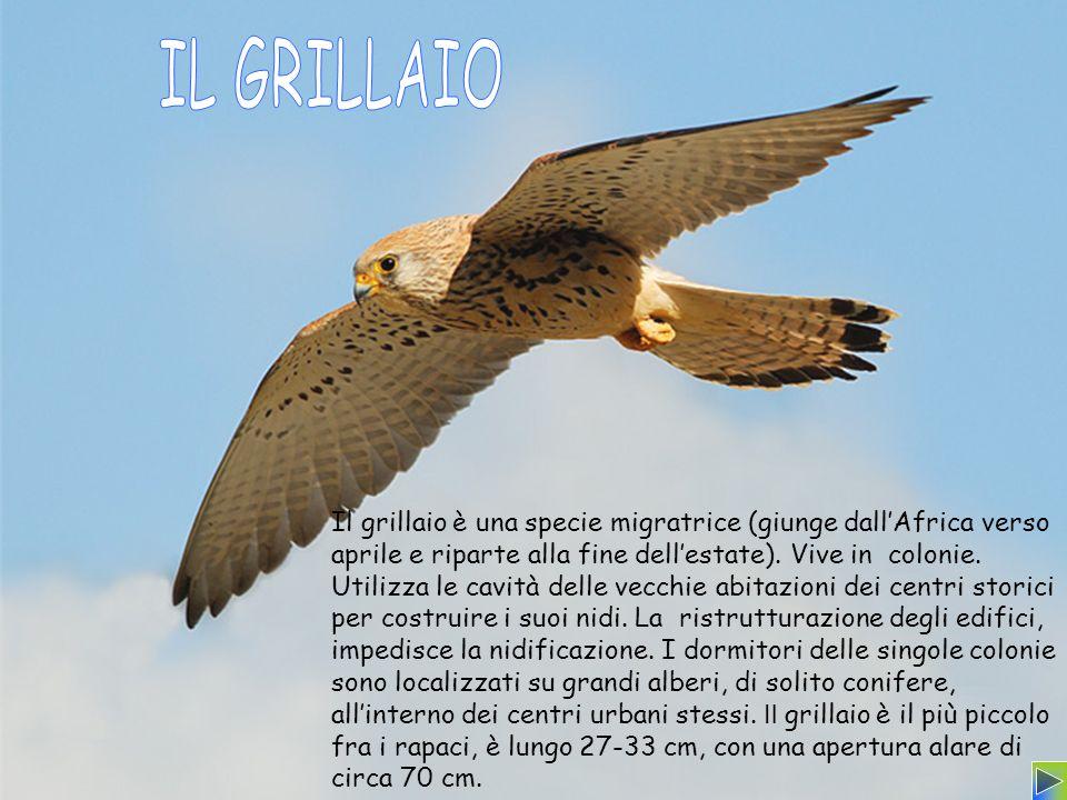 Il grillaio è una specie migratrice (giunge dallAfrica verso aprile e riparte alla fine dellestate). Vive in colonie. Utilizza le cavità delle vecchie