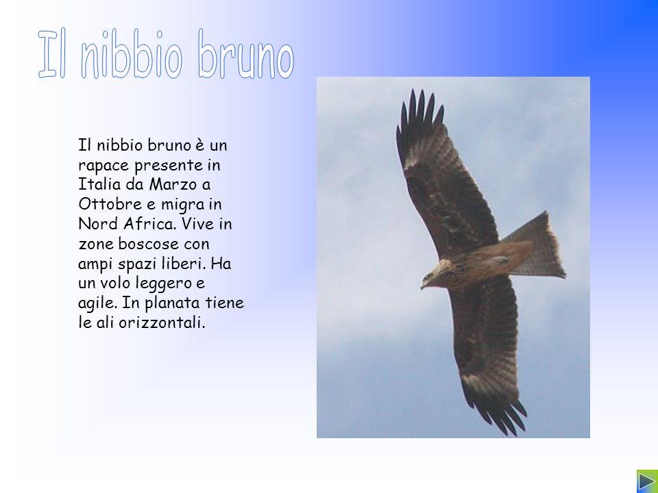 Il nibbio bruno è un rapace presente in Italia da Marzo a Ottobre e migra in Nord Africa. Vive in zone boscose con ampi spazi liberi. Ha un volo legge