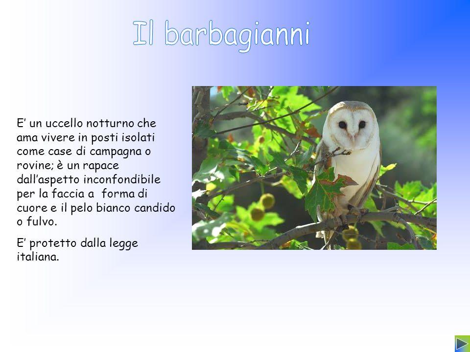 E un uccello notturno che ama vivere in posti isolati come case di campagna o rovine; è un rapace dallaspetto inconfondibile per la faccia a forma di