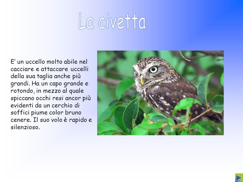 E un uccello molto abile nel cacciare e attaccare uccelli della sua taglia anche più grandi. Ha un capo grande e rotondo, in mezzo al quale spiccano o