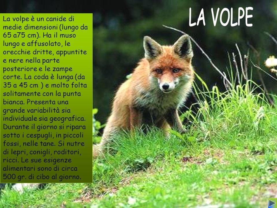 La volpe è un canide di medie dimensioni (lungo da 65 a75 cm). Ha il muso lungo e affusolato, le orecchie dritte, appuntite e nere nella parte posteri
