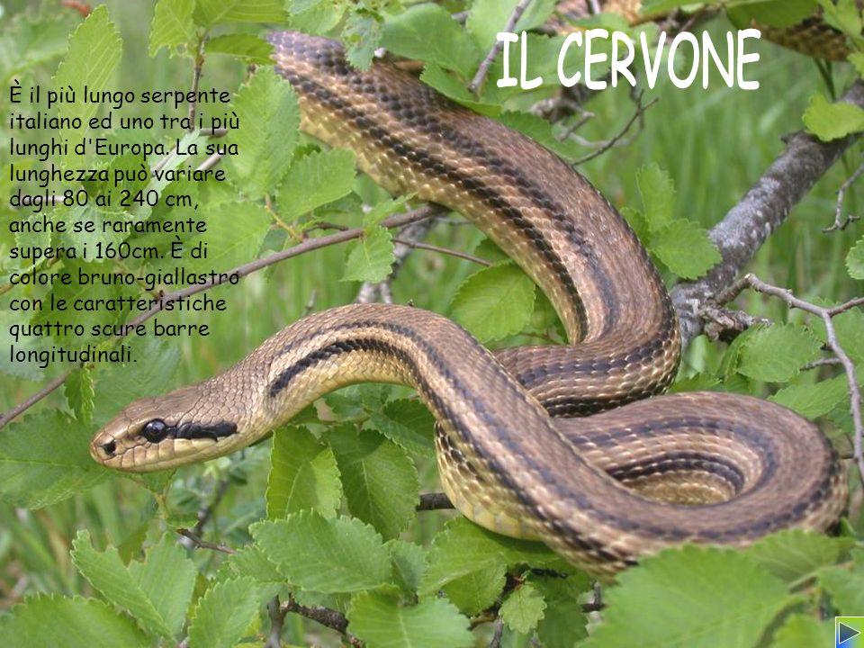È il più lungo serpente italiano ed uno tra i più lunghi d'Europa. La sua lunghezza può variare dagli 80 ai 240 cm, anche se raramente supera i 160cm.