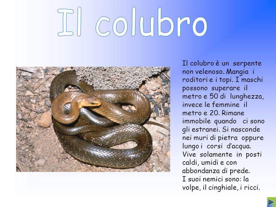 Il colubro è un serpente non velenoso. Mangia i roditori e i topi. I maschi possono superare il metro e 50 di lunghezza, invece le femmine il metro e