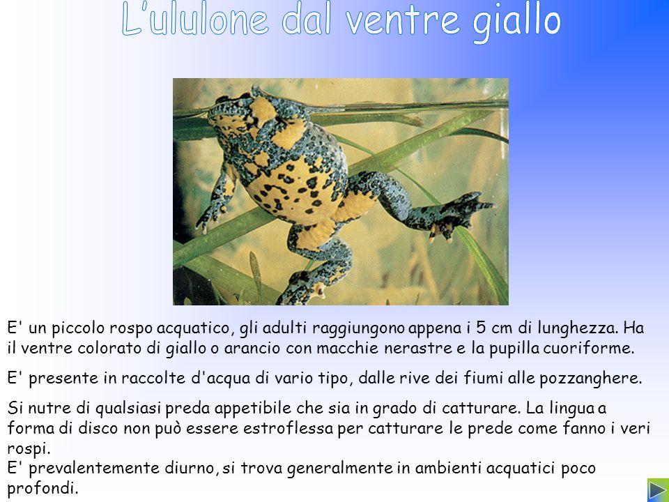 E' un piccolo rospo acquatico, gli adulti raggiungono appena i 5 cm di lunghezza. Ha il ventre colorato di giallo o arancio con macchie nerastre e la
