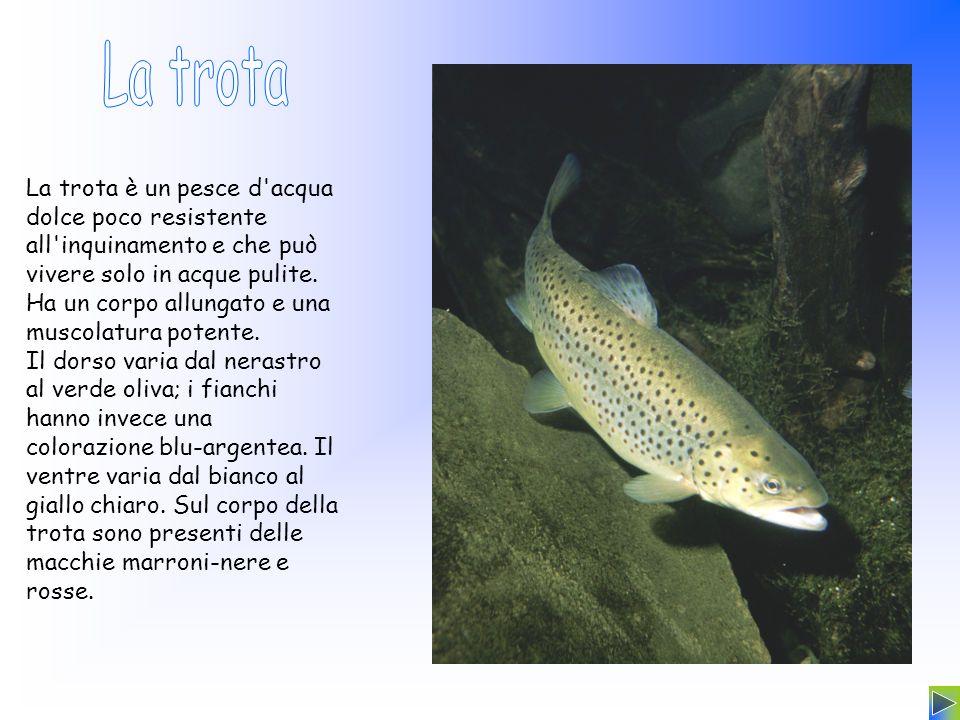 La trota è un pesce d'acqua dolce poco resistente all'inquinamento e che può vivere solo in acque pulite. Ha un corpo allungato e una muscolatura pote
