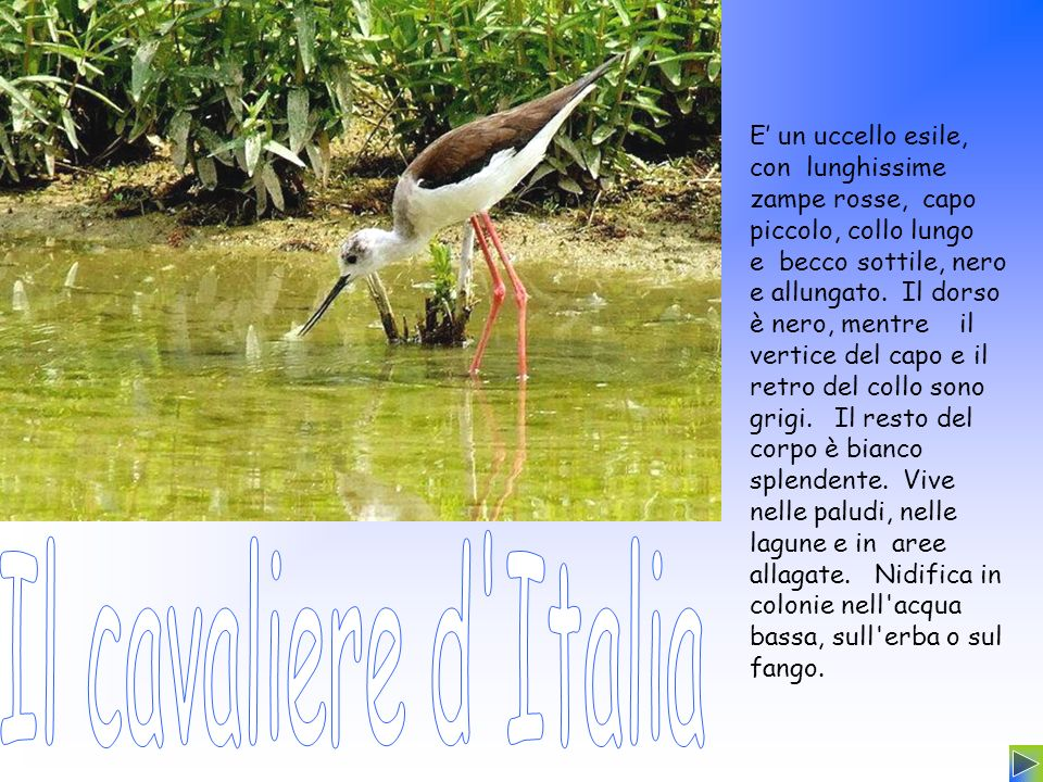 E un uccello esile, con lunghissime zampe rosse, capo piccolo, collo lungo e becco sottile, nero e allungato. Il dorso è nero, mentre il vertice del c