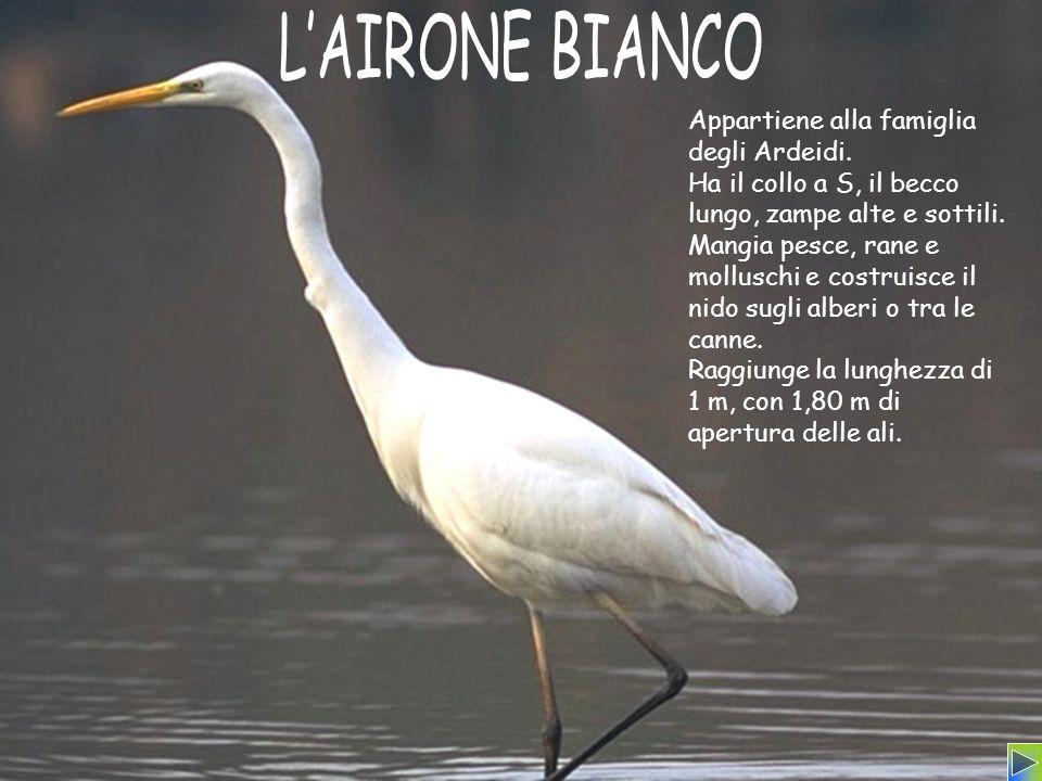 Appartiene alla famiglia degli Ardeidi. Ha il collo a S, il becco lungo, zampe alte e sottili. Mangia pesce, rane e molluschi e costruisce il nido sug