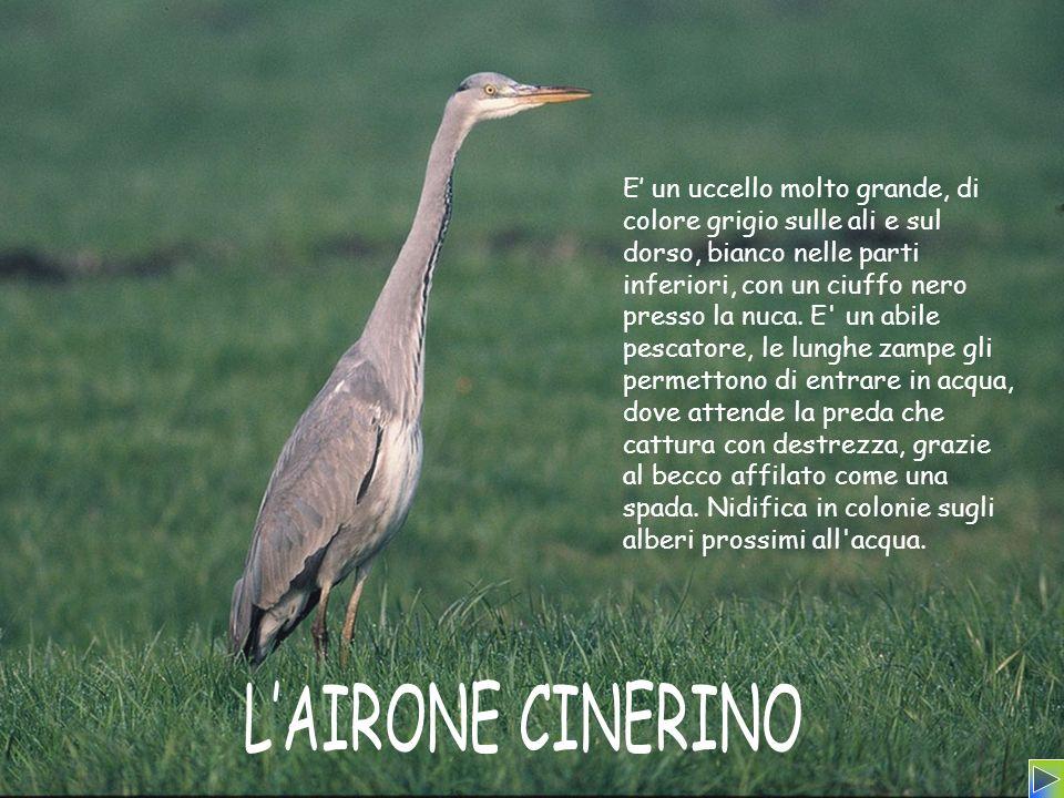 E un uccello molto grande, di colore grigio sulle ali e sul dorso, bianco nelle parti inferiori, con un ciuffo nero presso la nuca. E' un abile pescat