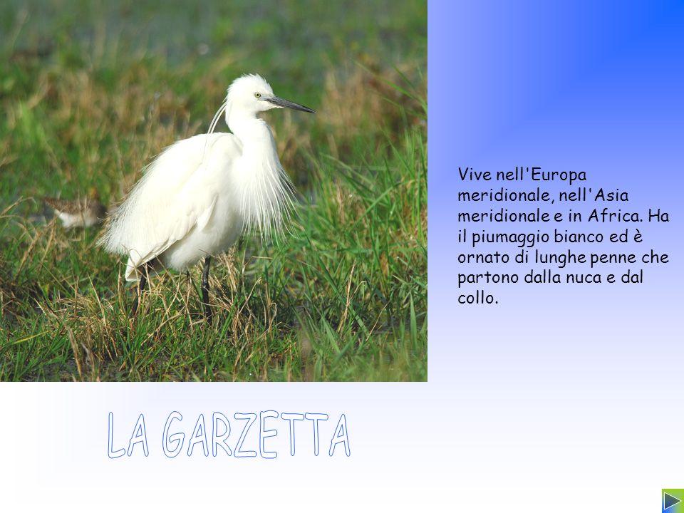 Vive nell'Europa meridionale, nell'Asia meridionale e in Africa. Ha il piumaggio bianco ed è ornato di lunghe penne che partono dalla nuca e dal collo