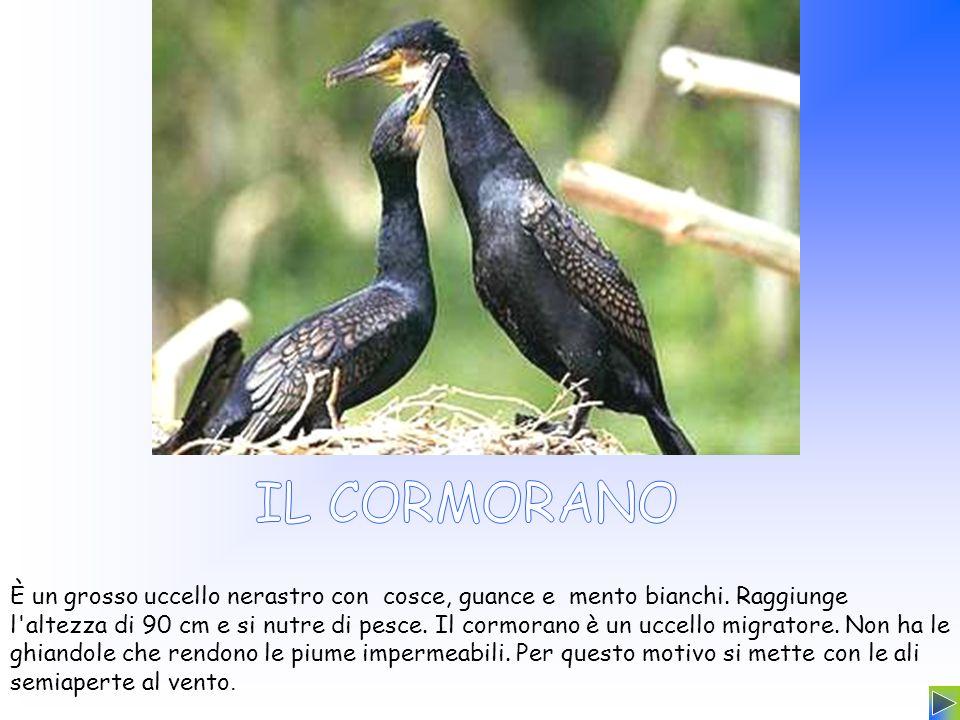 È un grosso uccello nerastro con cosce, guance e mento bianchi. Raggiunge l'altezza di 90 cm e si nutre di pesce. Il cormorano è un uccello migratore.