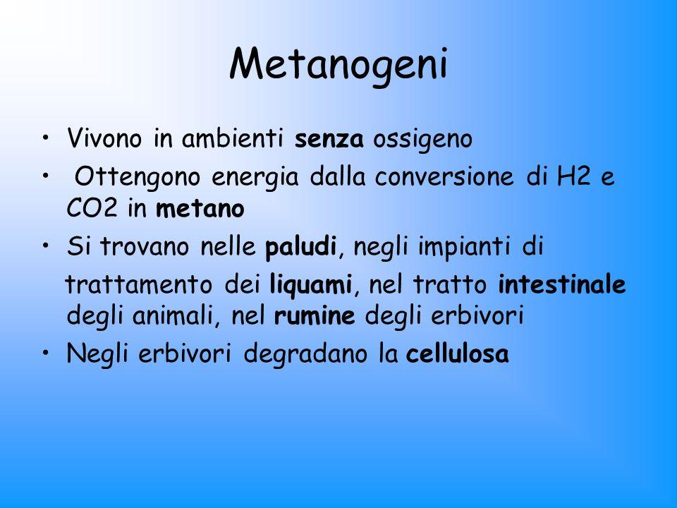 Metanogeni Vivono in ambienti senza ossigeno Ottengono energia dalla conversione di H2 e CO2 in metano Si trovano nelle paludi, negli impianti di trat
