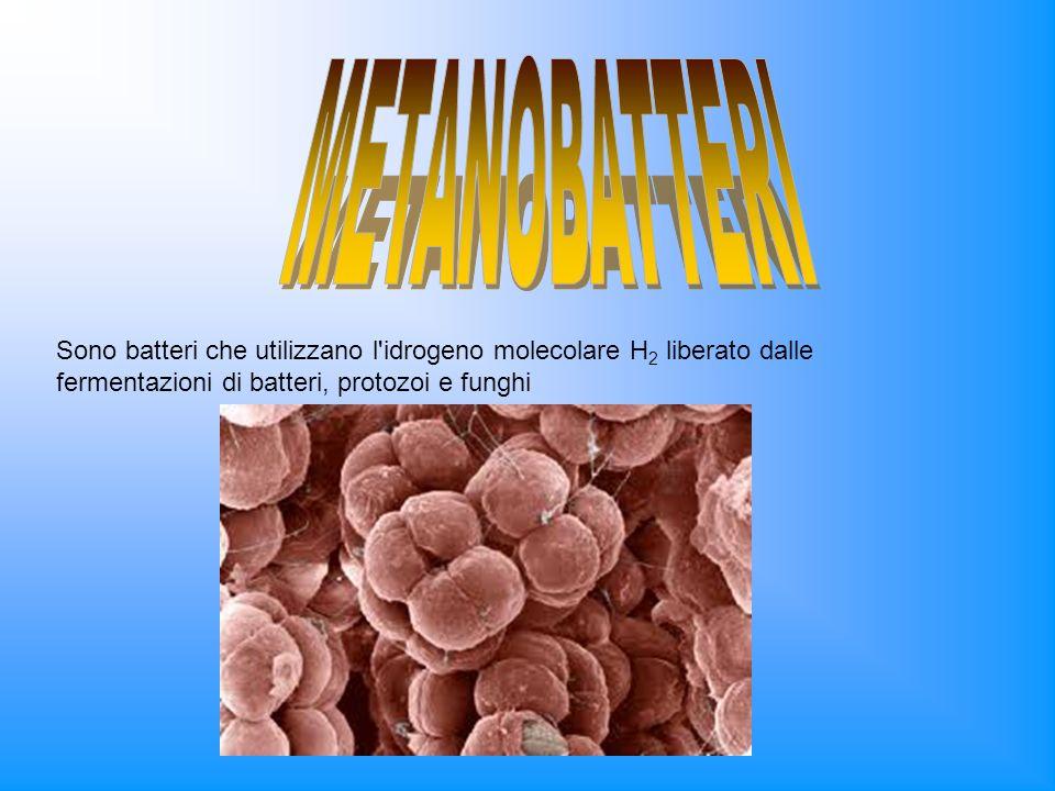 Sono batteri che utilizzano l'idrogeno molecolare H 2 liberato dalle fermentazioni di batteri, protozoi e funghi