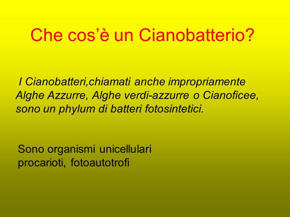 Che cosè un Cianobatterio? I Cianobatteri,chiamati anche impropriamente Alghe Azzurre, Alghe verdi-azzurre o Cianoficee, sono un phylum di batteri fot
