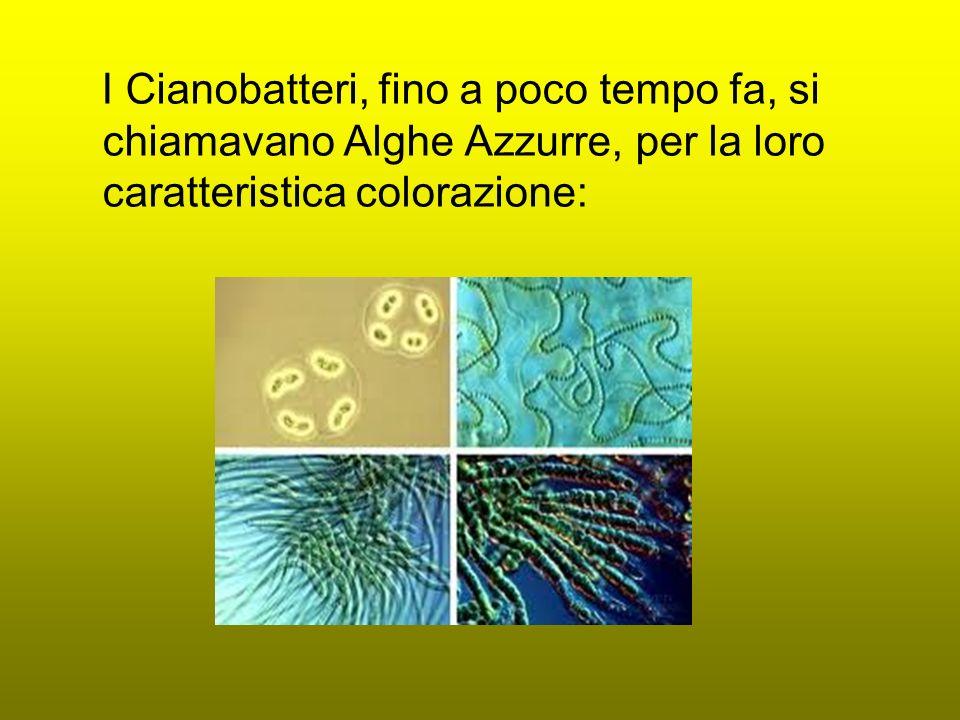 I Cianobatteri, fino a poco tempo fa, si chiamavano Alghe Azzurre, per la loro caratteristica colorazione: